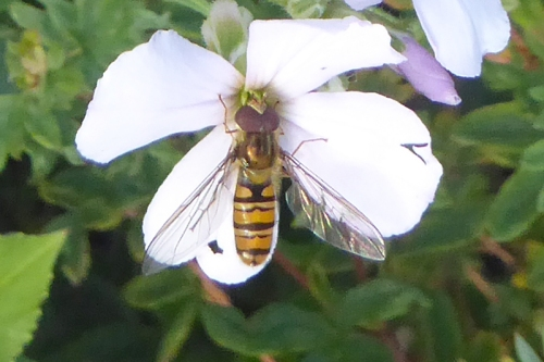 sweer rocket and hoverfly.