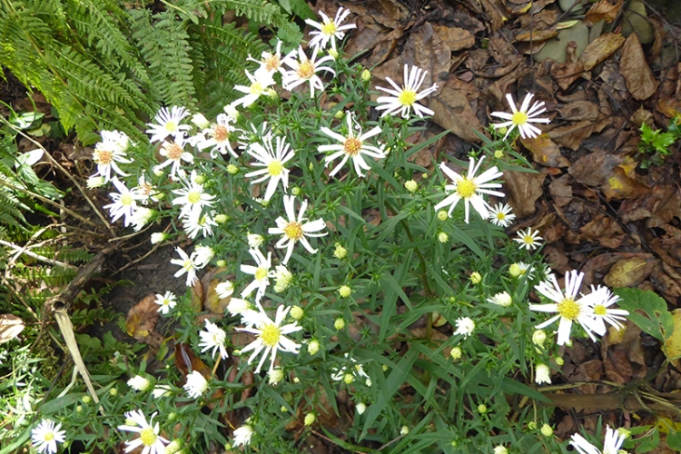 October daisies