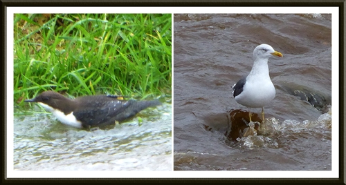 gull and dipper