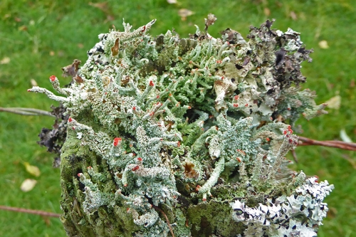 fence post lichen