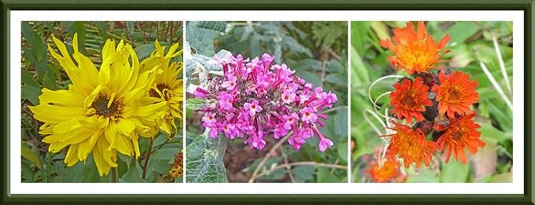 rudbeckia, buddleia and orange hawkweed