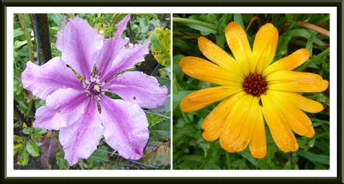 clematis and calendula