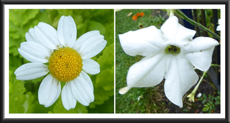 Feverfew and nicotiana