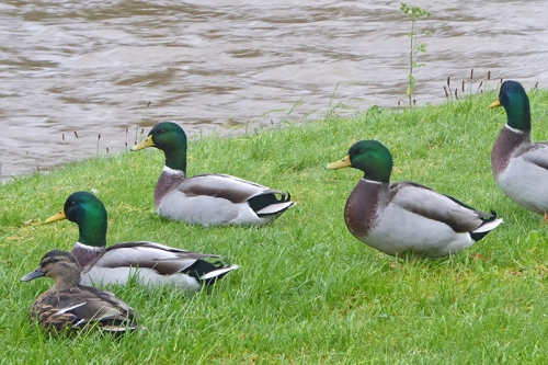 kilngreen mallards
