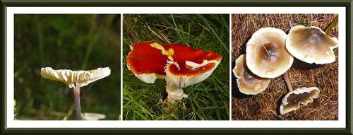 Whitshiels fungus