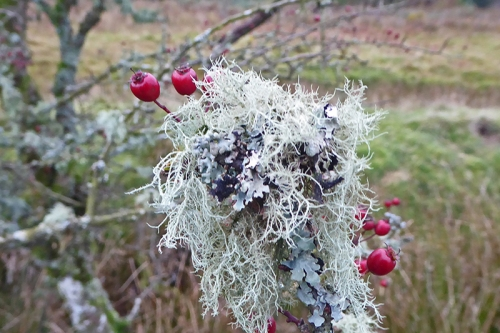 hawthorn with lichen