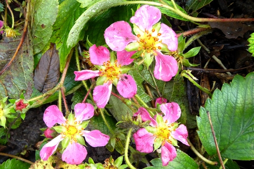 ornamental strawberry