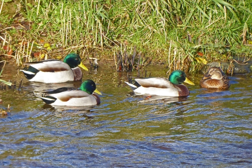 mallards at Kilngreen