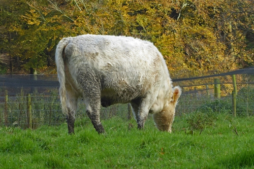 Casteholm cattle