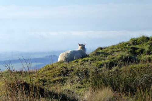sheep enjoying view