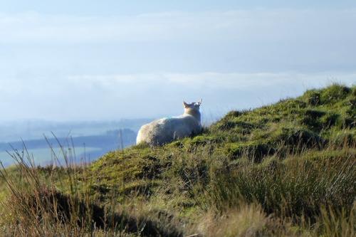 sheep enjoying view