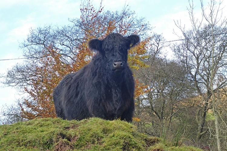 wauchope cow