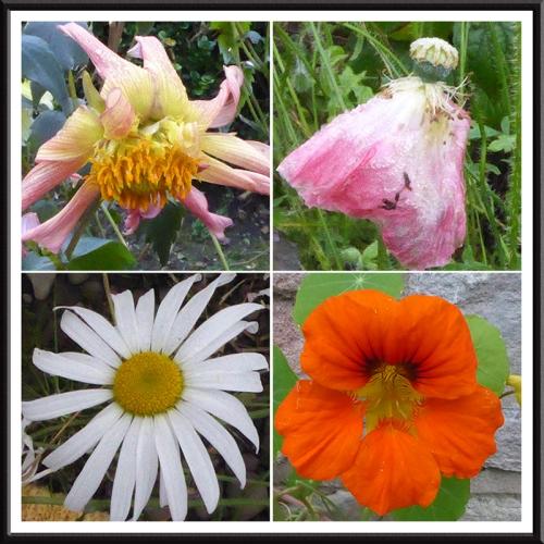 poppies dahlias daisy and nasturtium