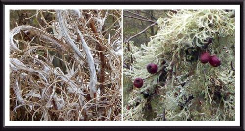 willowherb and lichen