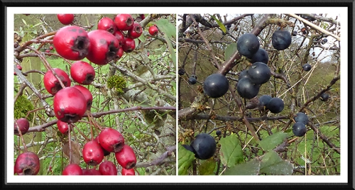 haws and sloes