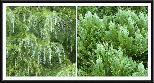conifers in the park