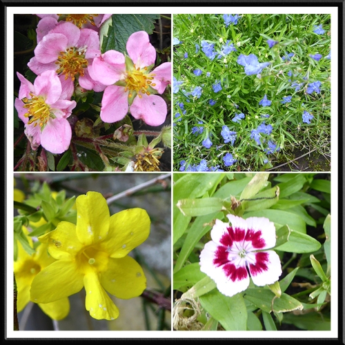 strawberry, lobelia, winter jasmine and sweet william