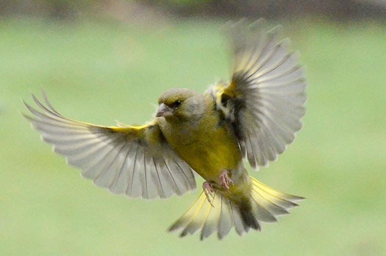 flying greenfinch