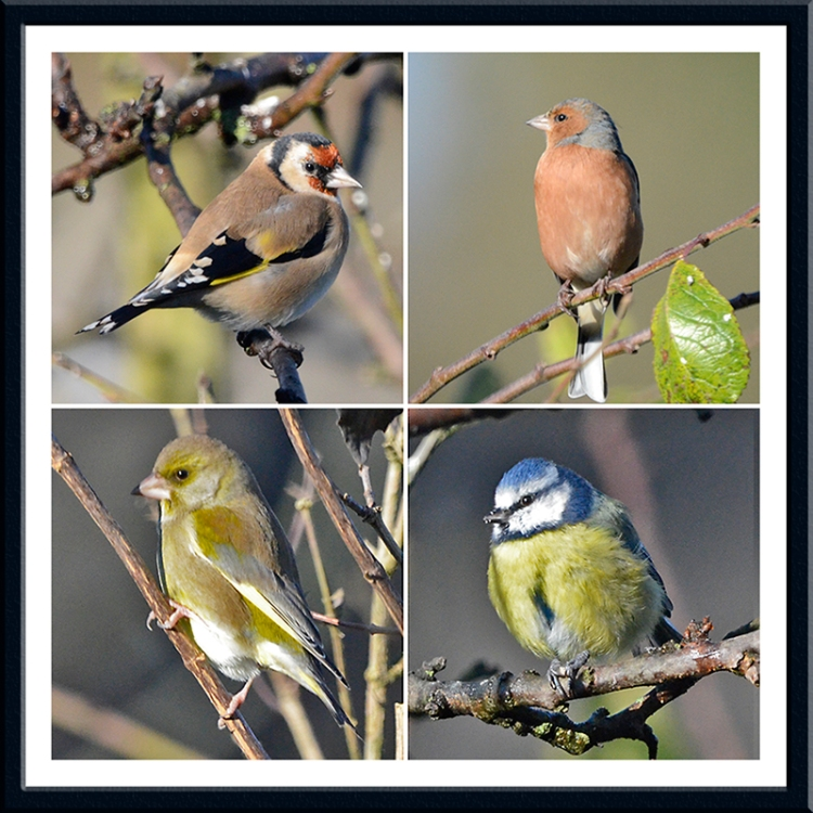 goldfinch, chaffinch, greenfinch and blue tit