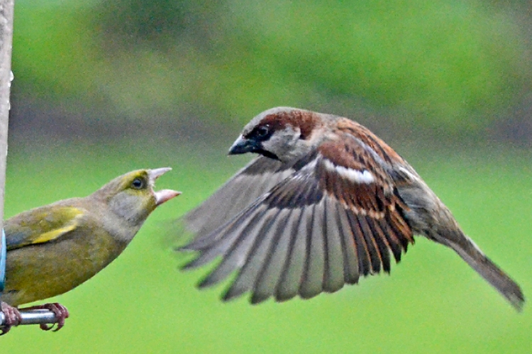 greenfinch and sparrow