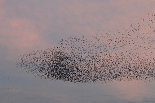 starlings at Gretna
