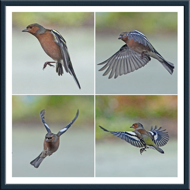 flying chaffinches