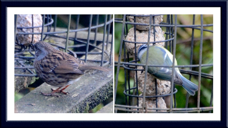 dunnock and blue tit