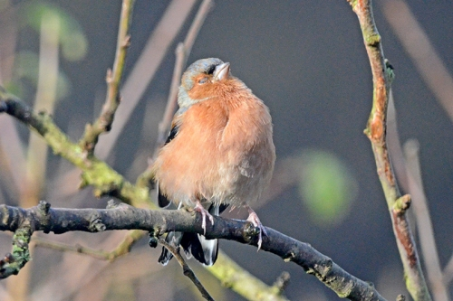 chaffinch in plum tree eye shut