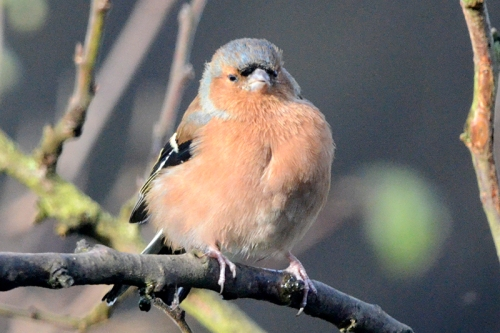 chaffinch in plum tree eye open