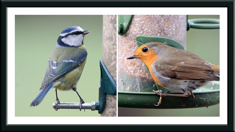 blue tit and robin