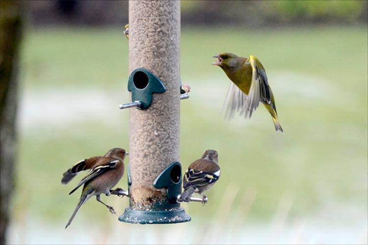 greenfinch shouting