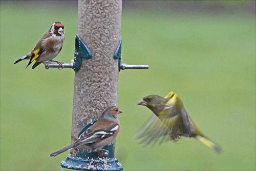greenfinch and chaffinch with goldfinch