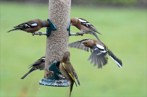greenfinch and chaffinches