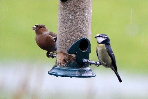chaffinch and blue tit