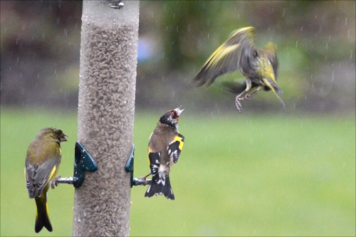 goldfinch and greenfinch and siskin