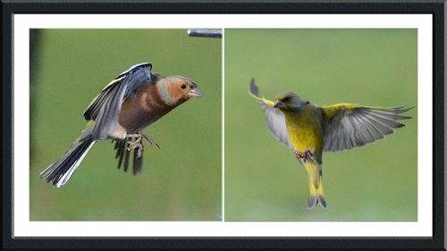 chaffinch and greenfinch Tony