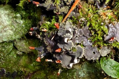peltigera lichen