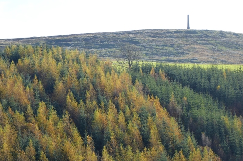 Larch and spruces