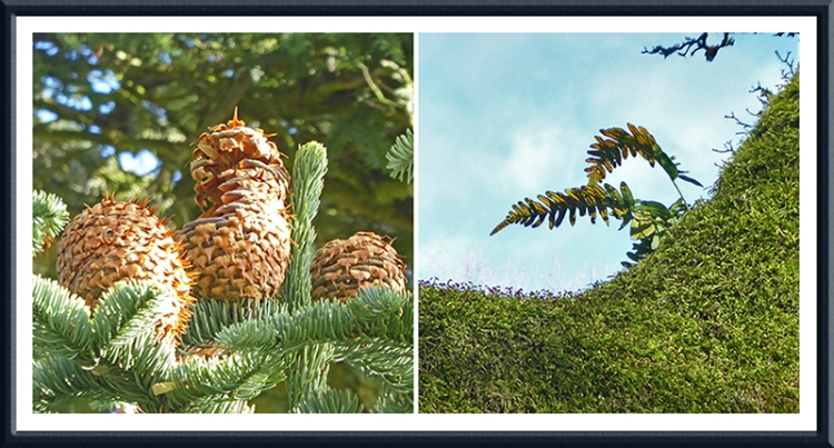 Noble Fir and fern