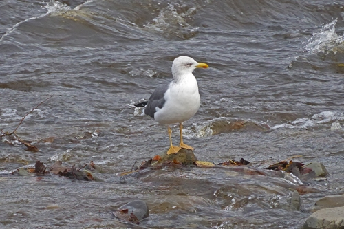 Gull in Esk