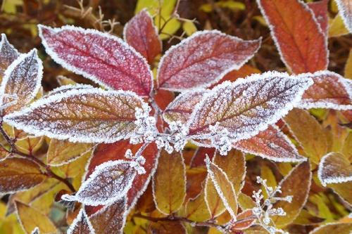 frozen spirea