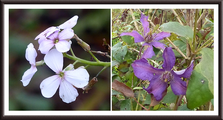 sweet rocket and clematis in november