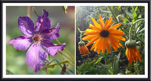 clematis and marigold