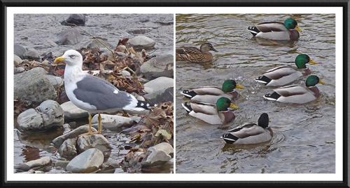 gull and ducks