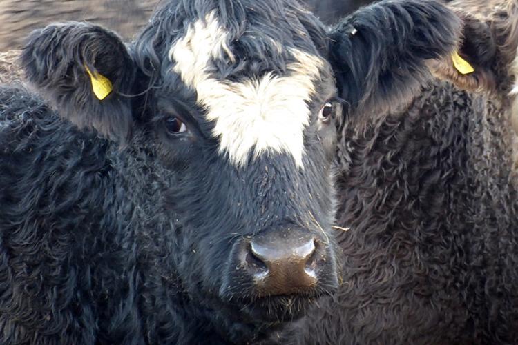 Rowanburn cows