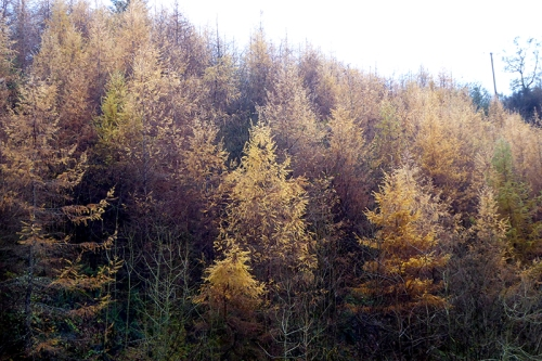 larches at pool corner