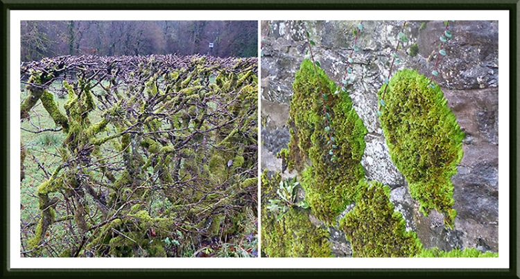 moss on hedge and wall