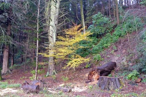 beech tree in November