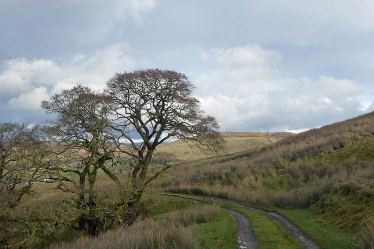 Warbla tree