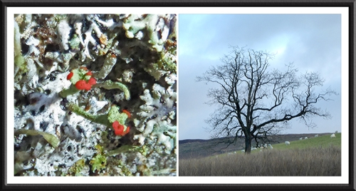 British soldier lichen and tree